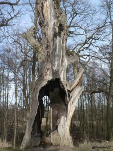Dub - průměr kmene 180cm, obvod 640cm při chybějící celé přední části), mnou odhadované stáří 400-500 let